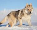 les loups d'argents∭