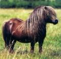 petits poneys