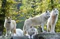 ♛ donskaya des louves ♛