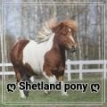ღ shetland pony ღ