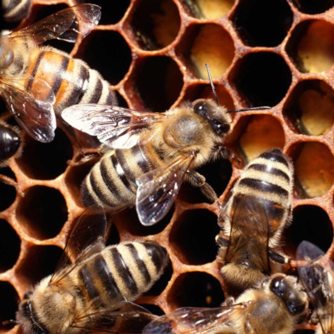 Tenta di rimuovere un alveare da sotto il divano: le api lo accerchiano e lo uccidono