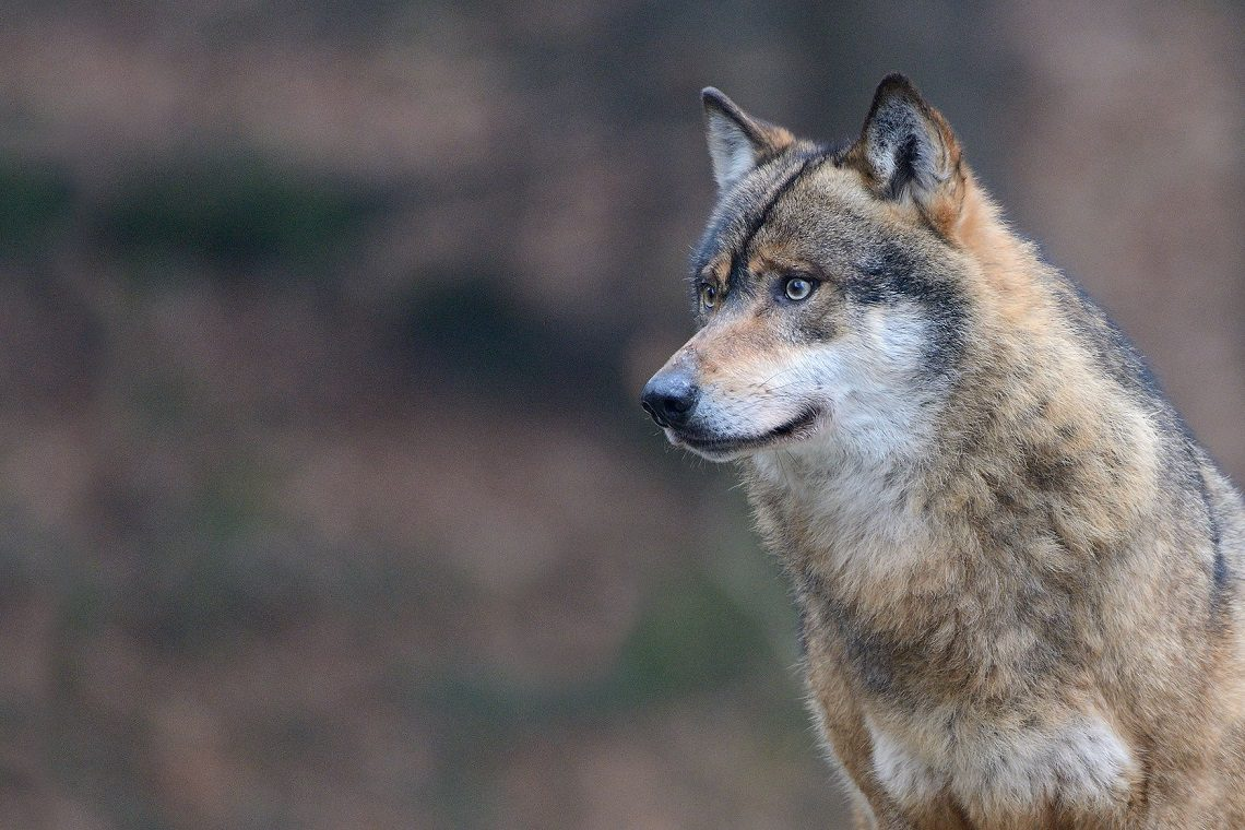 Lupi, vittoria degli animalisti: il ministero dell'Ambiente dice stop agli abbattimenti