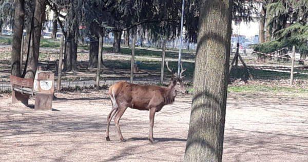 Cavenago Brianza, cervo muore durante il trasporto nel bosco: era stato trovato in un parco in città