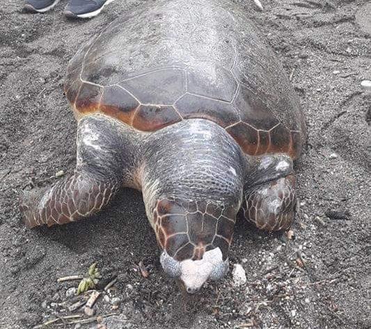 Tartaruga morta sulla spiaggia di Minori (Salerno): uccisa dalla plastica