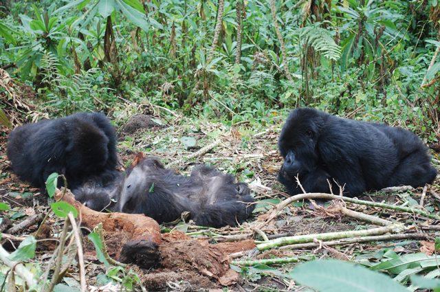 Gorilla in lutto: si radunano attorno ai corpi dei compagni deceduti, li puliscono e leccano