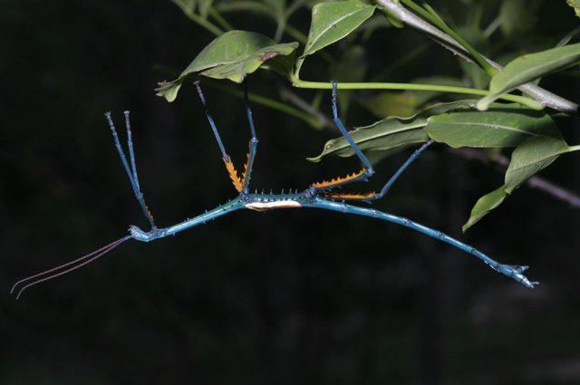 Insetti stecco giganti e coloratissimi scoperti in Madagascar: le immagini delle nuove specie
