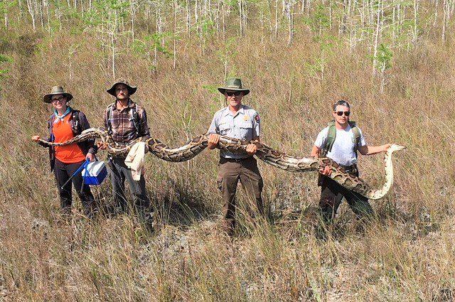 Gigantesco pitone birmano catturato e ucciso dai ricercatori: era lungo più di 5 metri