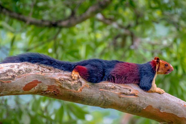 Splendido scoiattolo gigante color arcobaleno fotografato in India: le immagini spettacolari