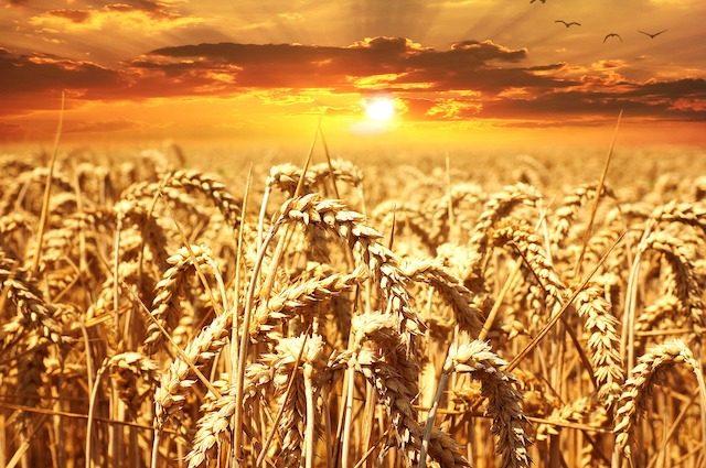 Abbiamo la mappa genetica del grano duro: ecco a cosa ci serve e come cambierà la pasta