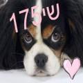 שי175