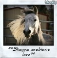 °°shagya arabians love°°