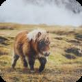 pony club_shettland