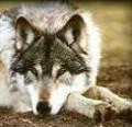 lillian-wolf