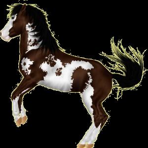 Reitpferd Paint Horse Dunkelbrauner mit Overo-Scheckung