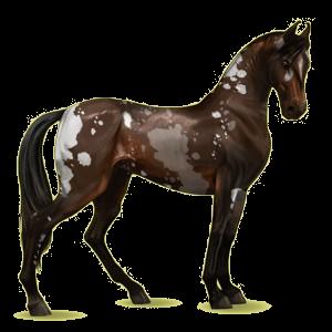 Reitpferd Marwari Rotbrauner