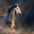 iberian horses