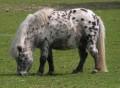 shetland pony team