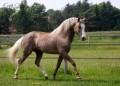 berber ló
