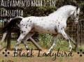 ✣ black ladybird ✣