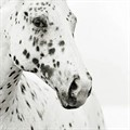 chevaux à pois
