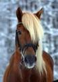 °°finnish horses°°
