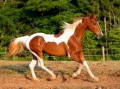 ♥special paint horses ♥
