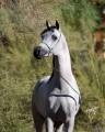 arabian caballo