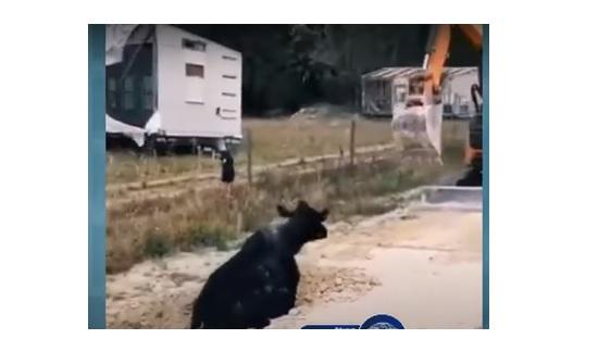 لحظة انقاذ بقرة سقطت في حفرة..فيديو