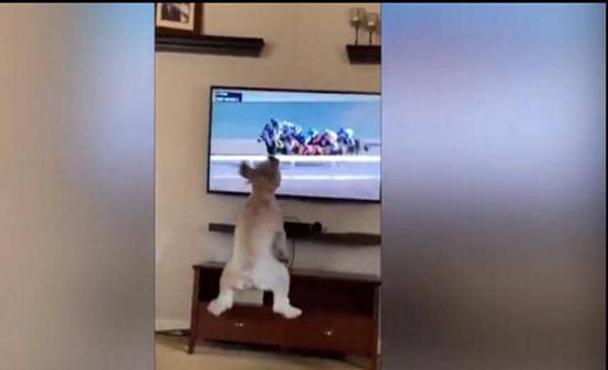 كلب يتابع سباق خيول يخطف إعجاب وسائل التواصل