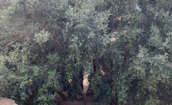 أقدم شجرة زيتون بالعالم.. وحكاية الحق الفلسطيني المسلوب (صور)