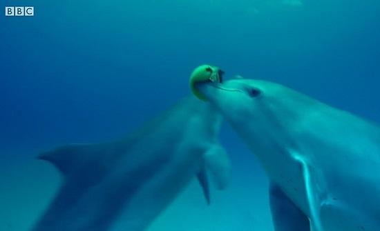 """دلافين تستخدم سمكة سامة للعب في المياه """"فيديو """""""