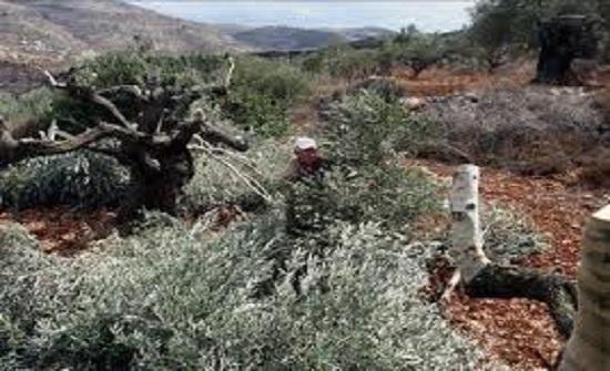مستوطنون يسرقون ثمار الزيتون ويكسرون أغصانها في نابلس