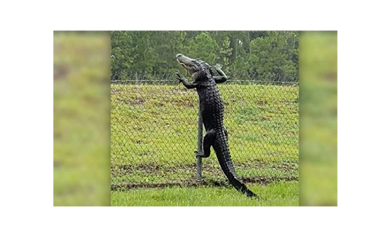 شاهد: مقطع لا يصدق لتمساح يقفز من أعلى سياج حديدي بطريقة مذهلة