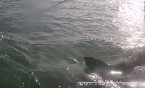 سمكة قرش بيضاء تهاجم عالما أمريكيا (فيديو)