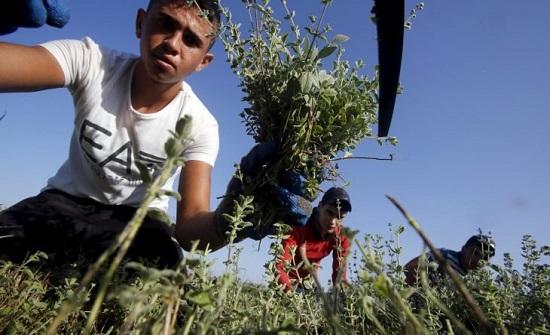 """في اليوم العالمي للزعتر.. ما هي قصة """"ذهب فلسطين الأخضر""""؟-"""