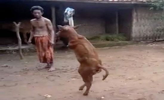 بالفيديو: عجل بدون سيقان أمامية يسير مثل الإنسان!
