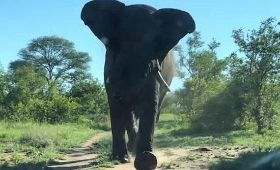 فيل ينجو بإعجوبة من هجوم لبؤة ومحاولة افتراسه العنيفة... فيديو