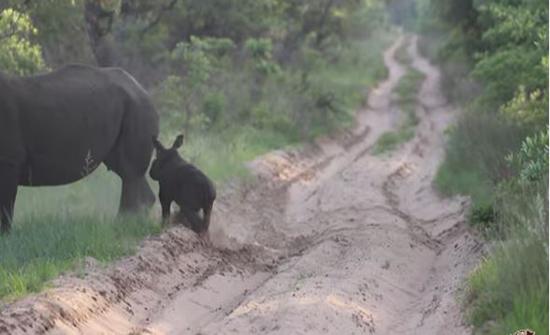 وحيد القرن يلهو ويمرح أمام مركبة سياح