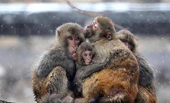كورونا يتسبب بحرب شوارع بين القردة من أجل موزة... فيديو