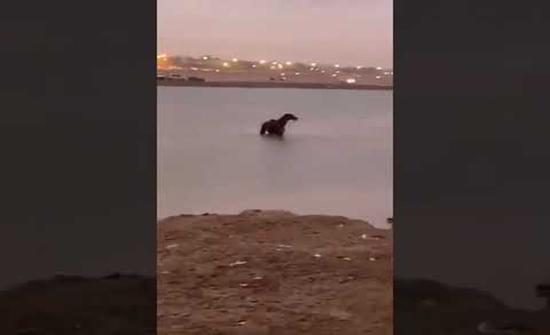 شاهد: فيديو جديد يكشف حقيقة نجاة حصان المستنقع المائي في السعودية