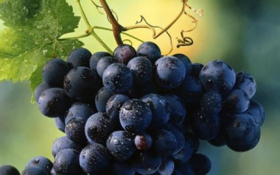عجلون:ورشة توعوية عن تحسين محاصيل العنب والزيتون