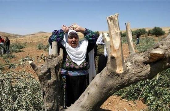 الاحتلال يقتلع 200 شجرة زيتون في بيت دجن بنابلس