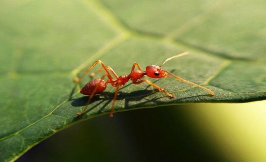 النمل الناري يغزو الصين