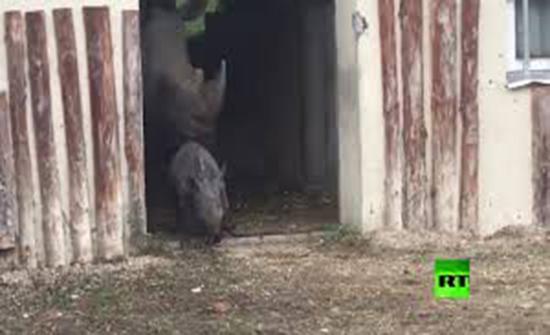 بالفيديو : صغير وحيد القرن يخرج للنور في النمسا