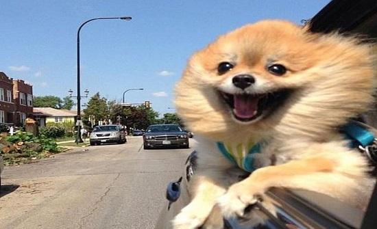 أطرف صور الكلاب خلال نزهات السيارة