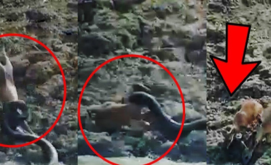 بالفيديو : حية ضخمة تنقض على غزالة وتلتف حول جسدها وتبتلعها في الهند