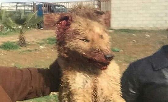 ذئب خطير يهاجم اشخاصا ويصيب احدهم في مادبا - صورة