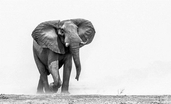"""القبض على الفيل """"بن لادن"""" بعد قتله 5 أشخاص في الهند (صورة)"""