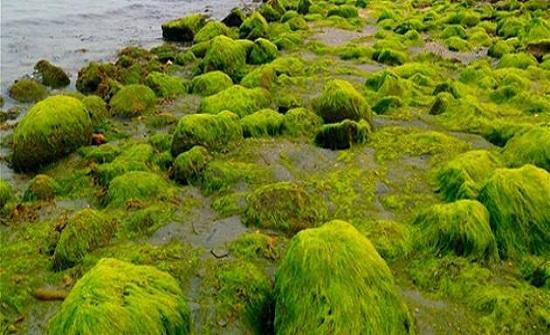 علماء صينيون يستخدمون مستخلصا من الطحالب لعلاج كورونا