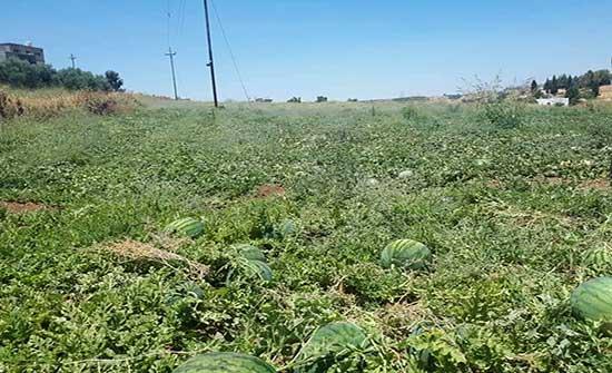 البطيخ البعل يعود بعد غياب من أراضي الكورة